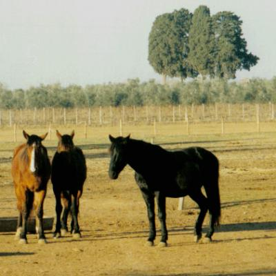 Cavalli_maremmani